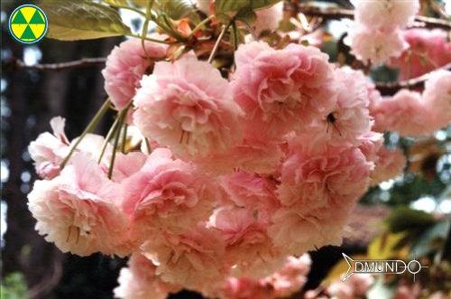 Cerejeiras de Campos do Jordão - Cerejeira da especie  benefuken.