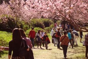 Festa da Cerejeira de Campos do Jordão