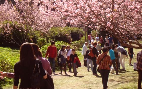 Festa da Cerejeira de Campos do Jordão começa sábado