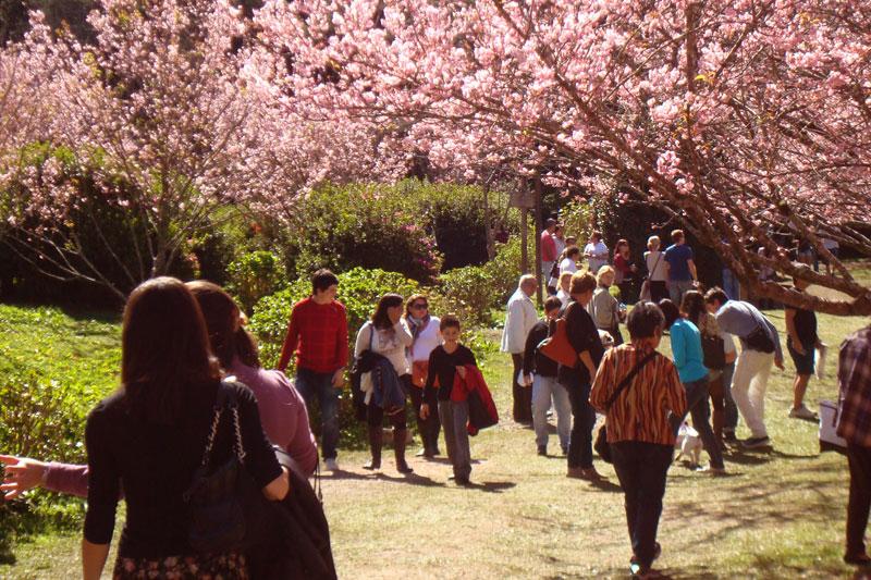 Festa da Cerejeira em Flor de Campos do Jordão