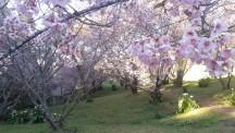 Flores de Cerejeira de Campos do Jordão - Guiacampos.com