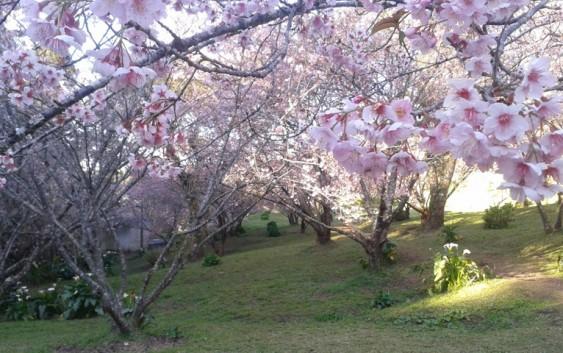 Festa da Cerejeira chega ao último final de semana e as flores darão o grande espetáculo!
