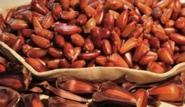 Pinhão: A semente da prosperidade em Campos do Jordão