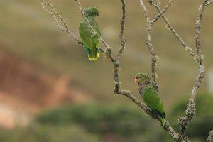 Papagaio do Peito Roxo - Foto Tiago Carneiro