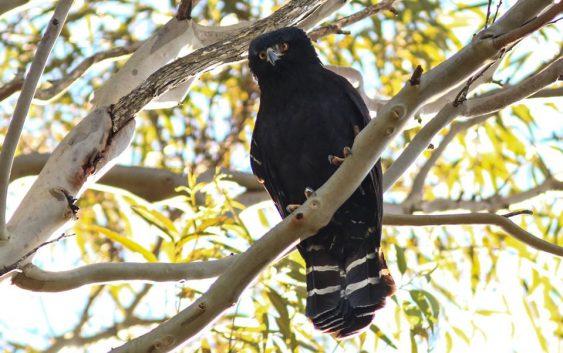 """""""Caçadores"""" de aves em Campos do Jordão!"""