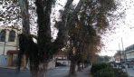 Largadas para morrer! Platanus de Campos do Jordão seguem abandonados