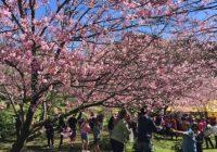 Parque das Cerejeiras de Campos do Jordão reabre neste sábado (17)